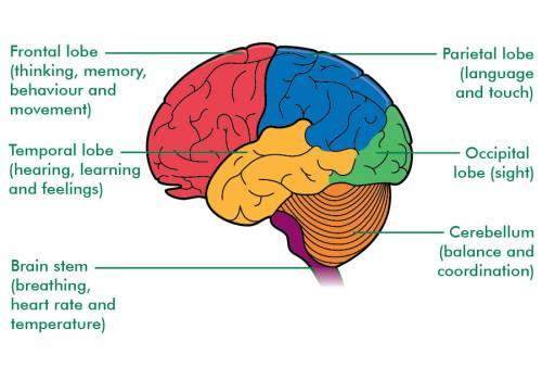 brain lobes and their functions pdf