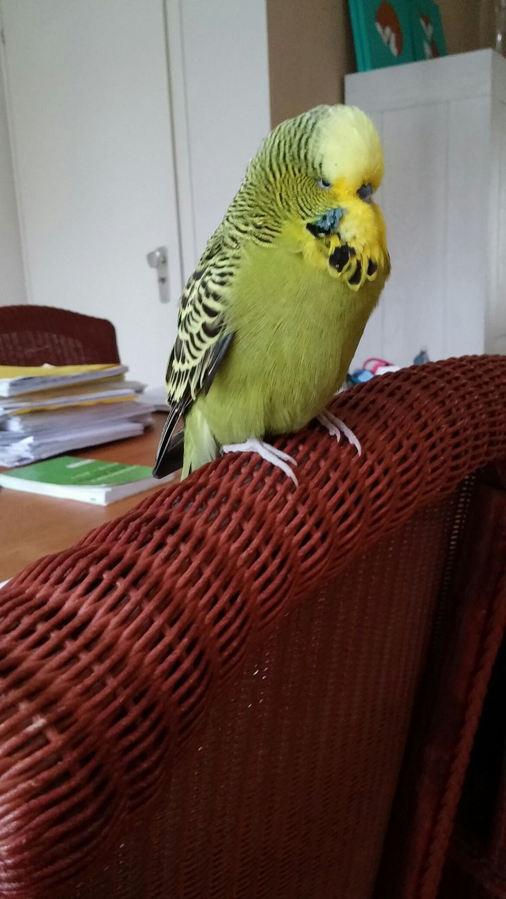 budgie breeding guide